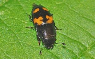 sap-beetle-uwisc