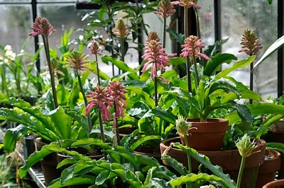 veltheimia-bracteata-by-growing-with-plants-com