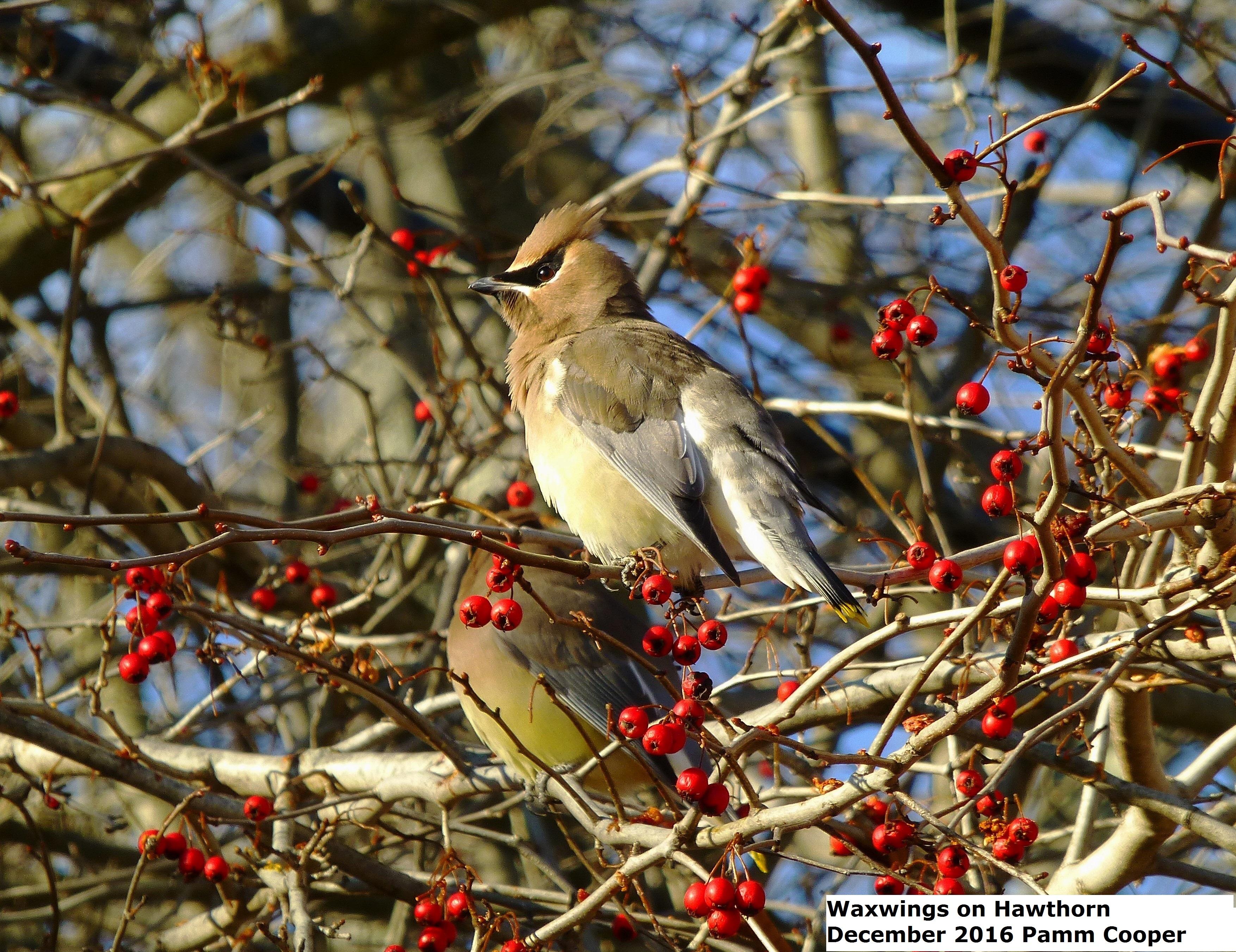waxwings-between-bites-of-hawthorn-fruit-pamm-cooper-photo-12-19-16