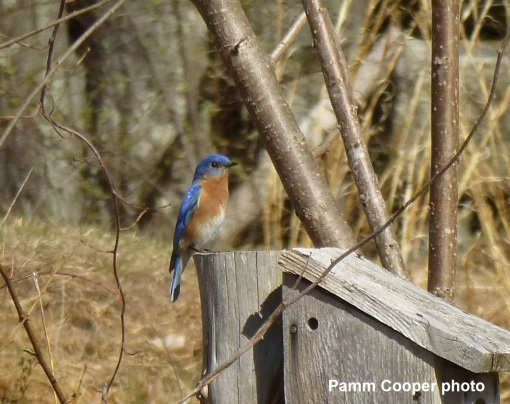 bluebird-on-box-pamm-cooper-photo