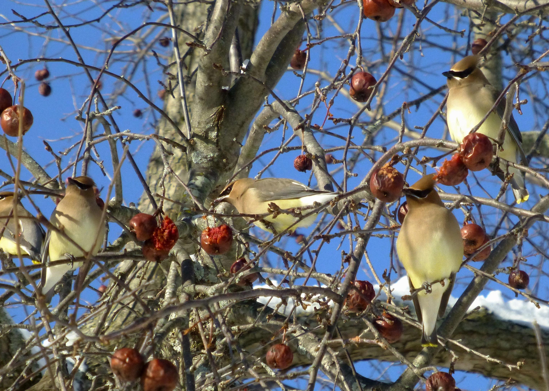cedar-waxwings-on-crabapple-photo-pamm-cooper