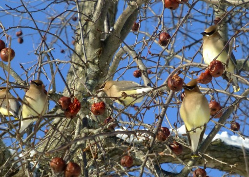 cedar-waxwings-on-crabapple-photo-pamm-cooper
