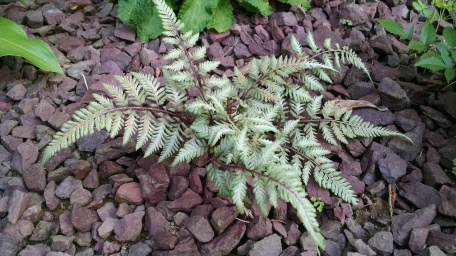japanese-painted-fern