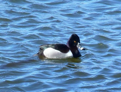 male-ring-necked-duck