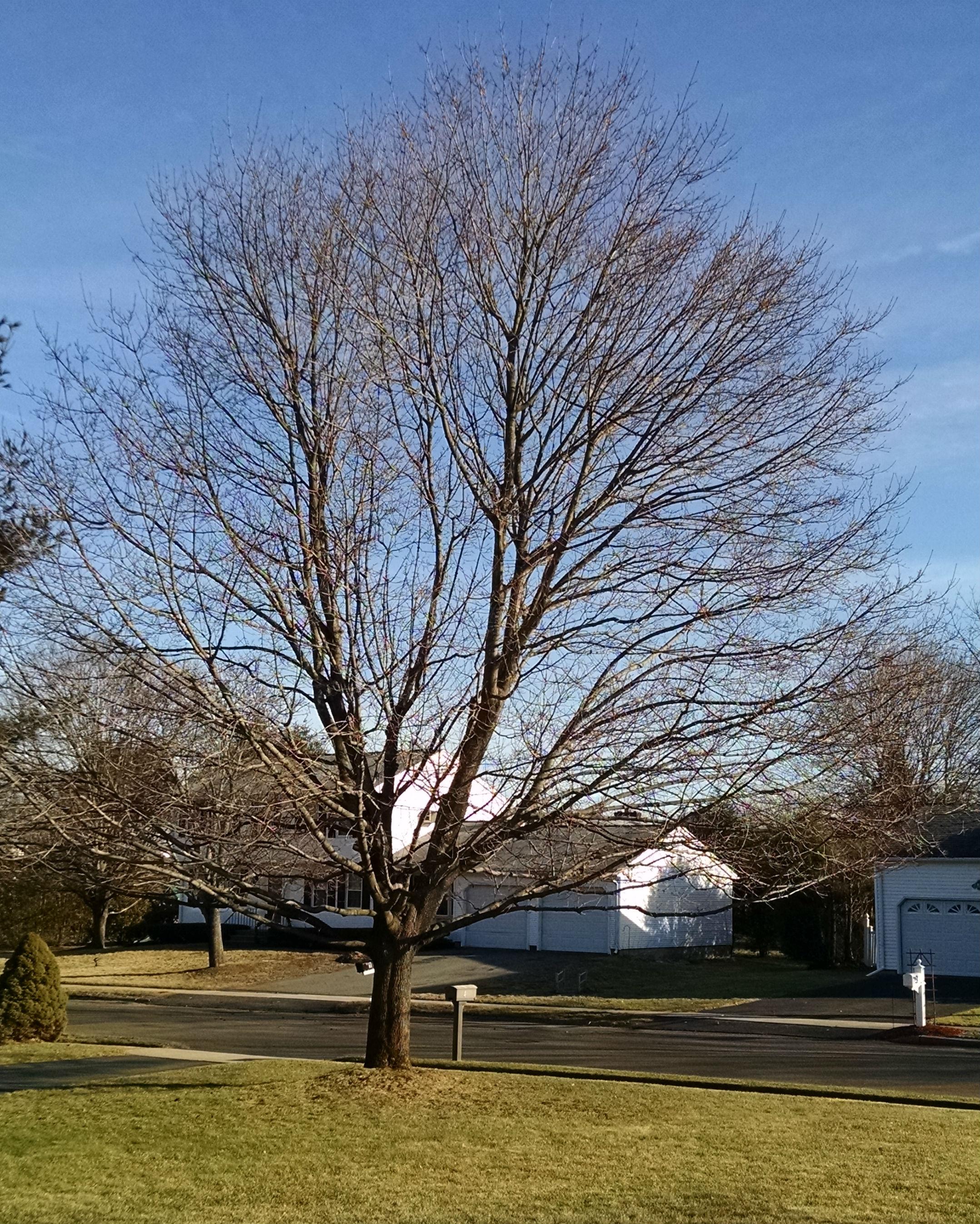 maple-tree