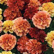 marigold-straw-blonde-park-seed