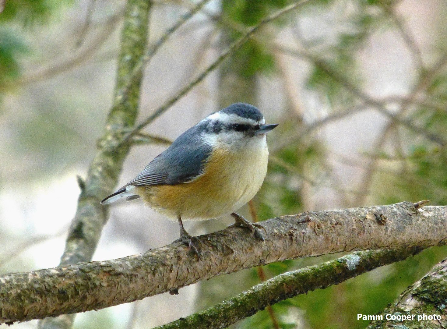 red-breasted-nuthatch-in-februaryi-pamm-cooper-photo