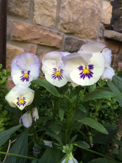 pansy-by-lisa