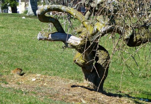 woodchuck-and-dying-ornamental-tree