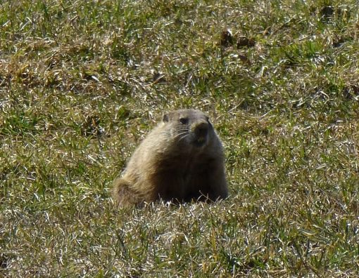 woodchuck-in-pasture
