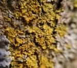 Caloplaca sp., crustose growth forma
