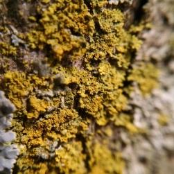 Caloplaca sp., crustose growth form a