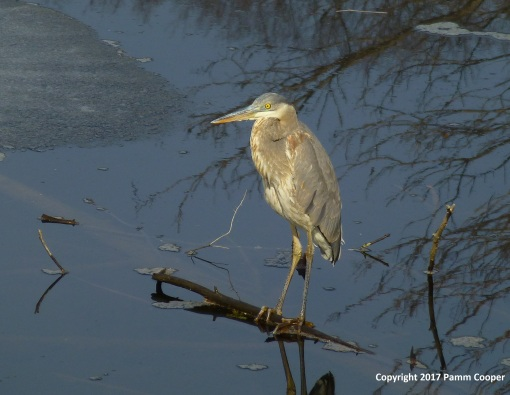 great-blue-heron-in-a-small-ice-free-area-of-a-pond-2-22-2017