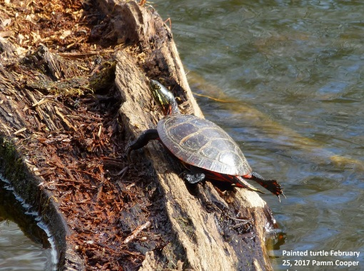 painted-turtle-out-february-25-2017