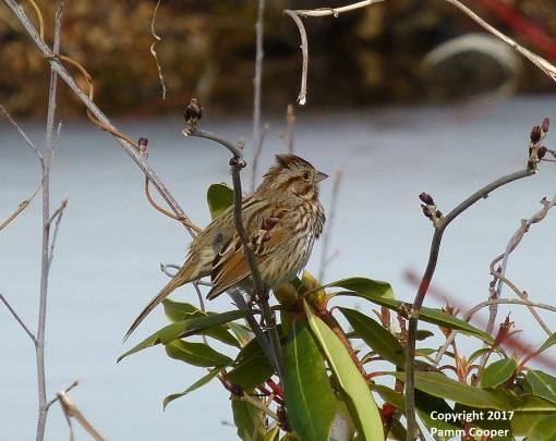 song-sparrow-february-22-2017