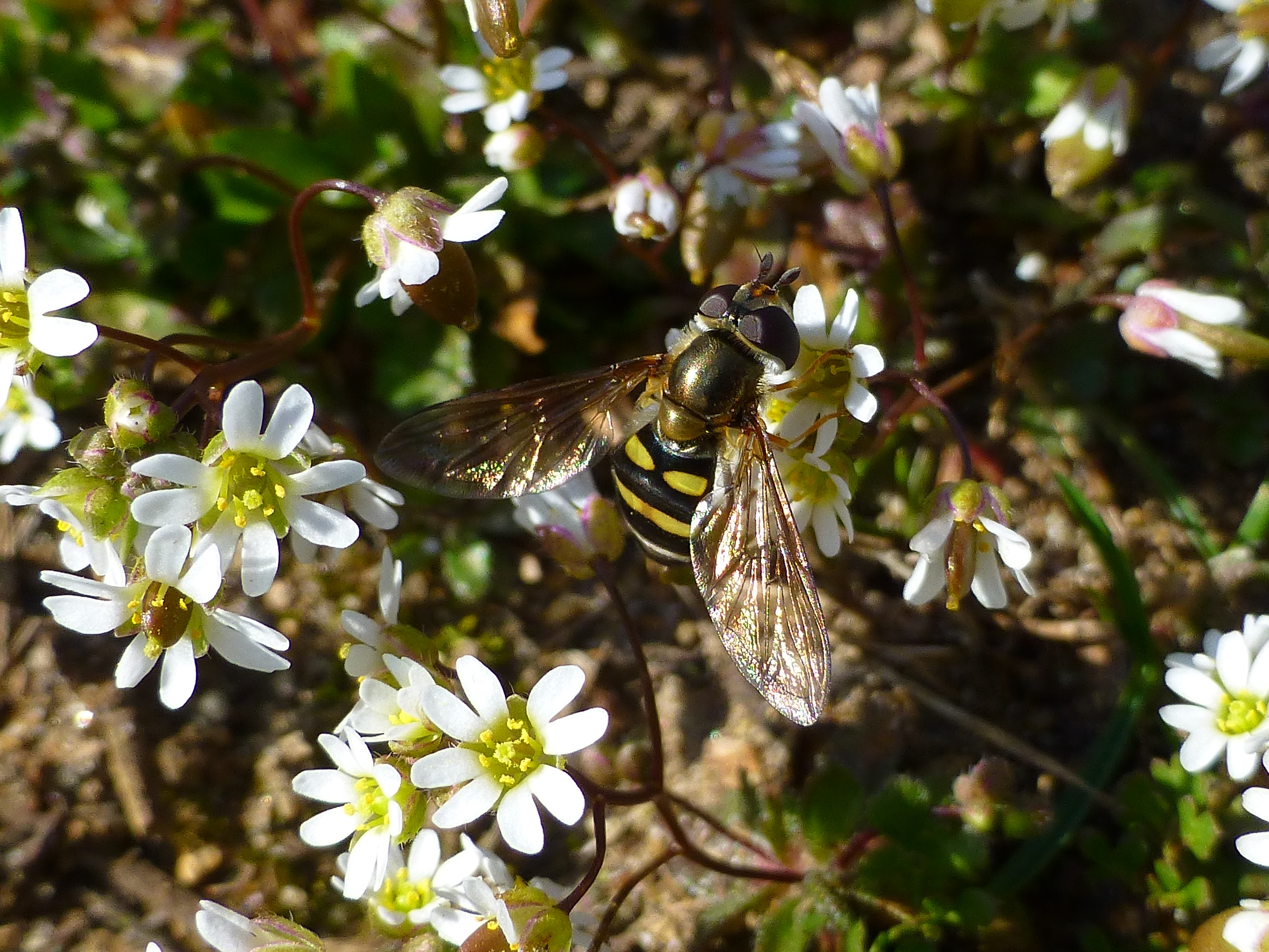 whitlow-grass-and-syrphid-fly