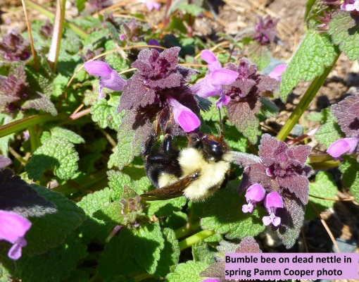 bumblebee on purple deadnettle