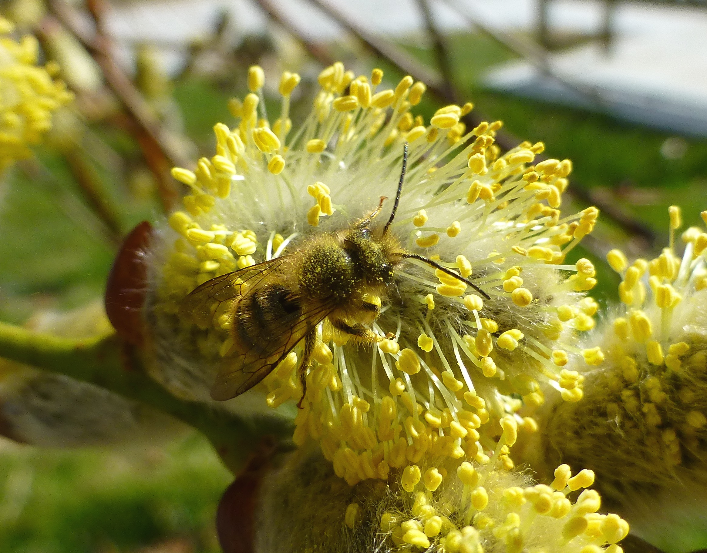 Colletes inaequalis bee covered in pollen- willow 4-3-2017