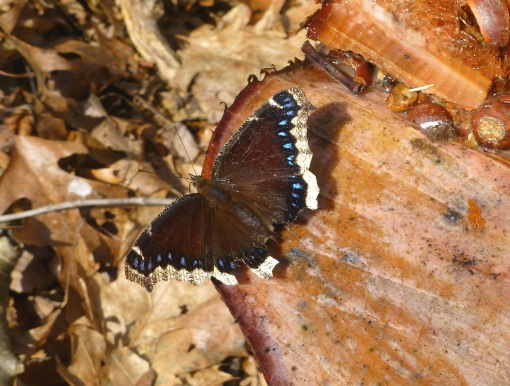 Mourning cloak on sap flow from freshly cut tree stump in early April