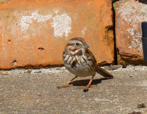 song sparrow april 13 2016