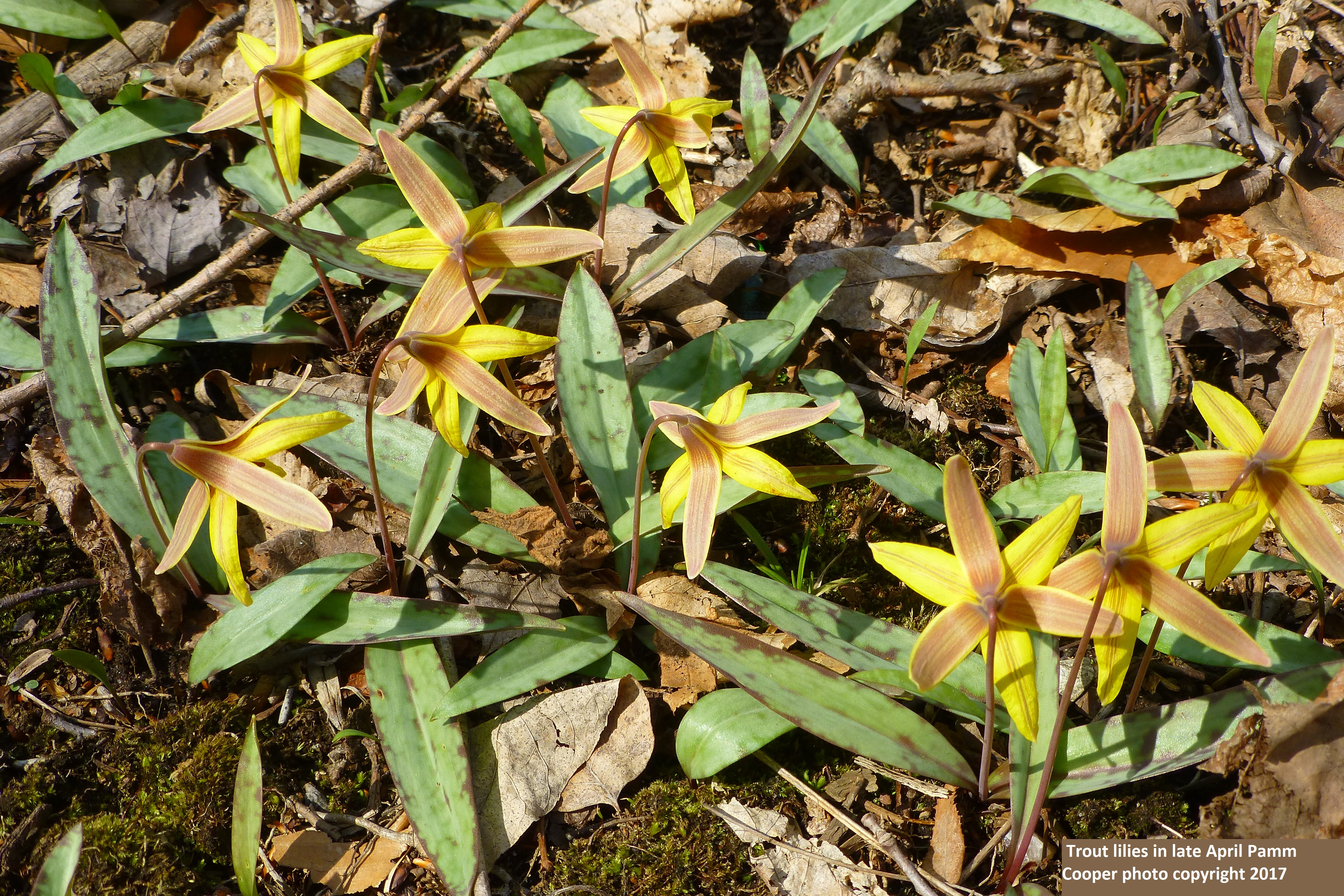 trout lilies Pamm Cooper photo