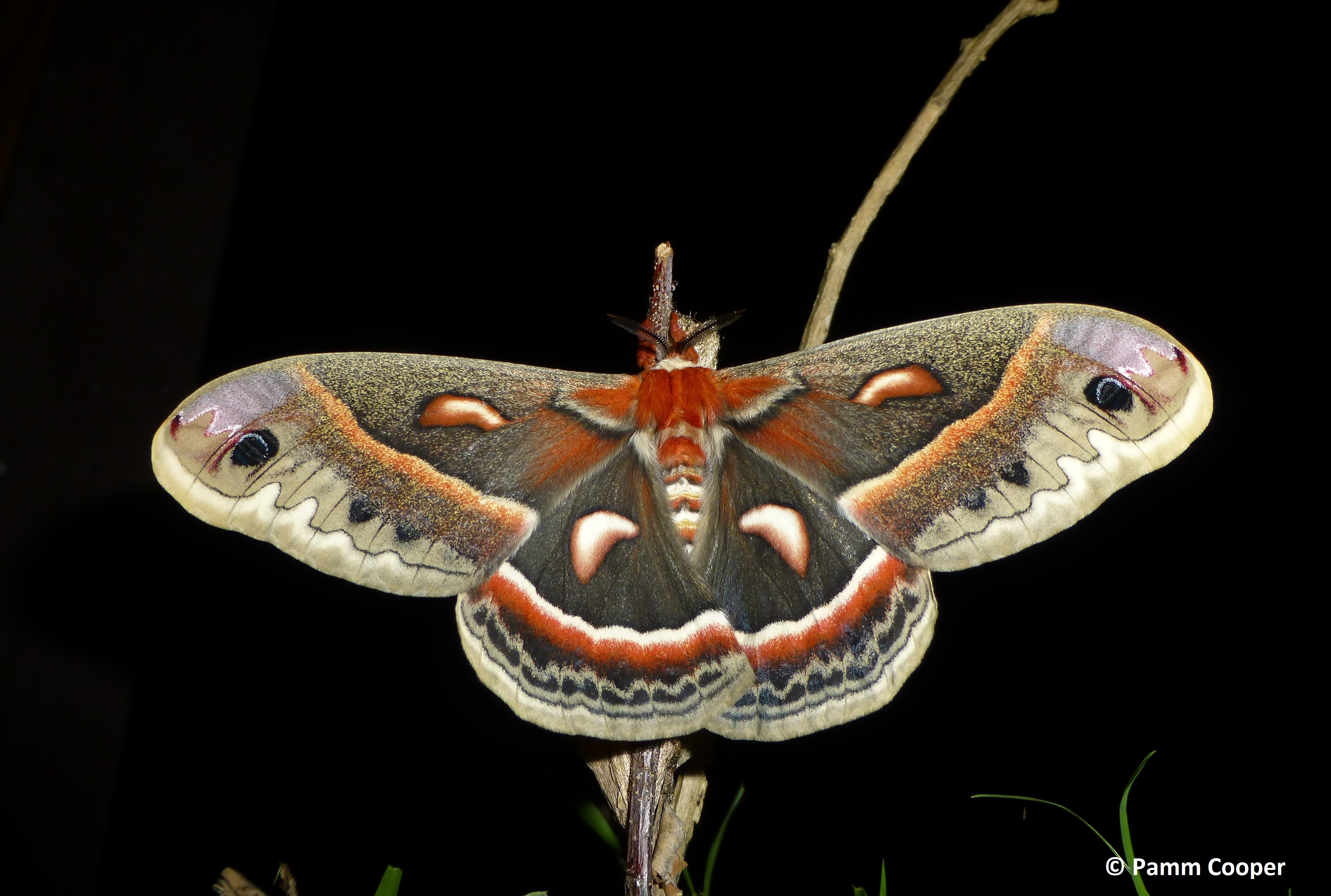 cecropia female 9p.m. same day as emrged from cocoon 5-31-13