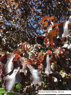 copper beech 2017 2 - Copy