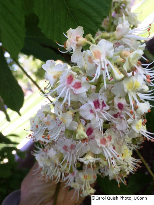 Horse chestnut flower 2017 closeup
