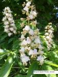 Horse chestnut flower2017