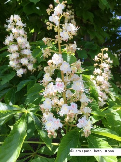 Horse chestnut flower 2017