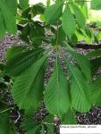 Horse chestnut leaf 20172