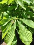 Horse chestnut leaf2017