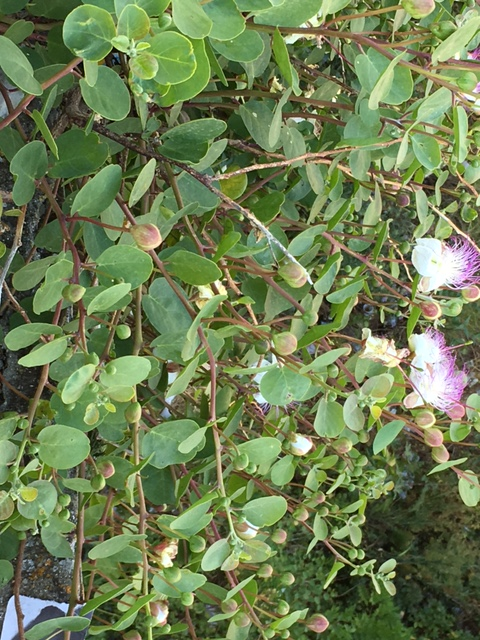 Messina plant capers