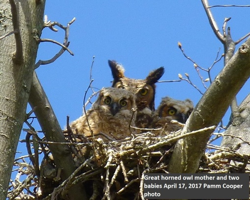 mother and two baby great horned owls Pamm Cooper photo 2017