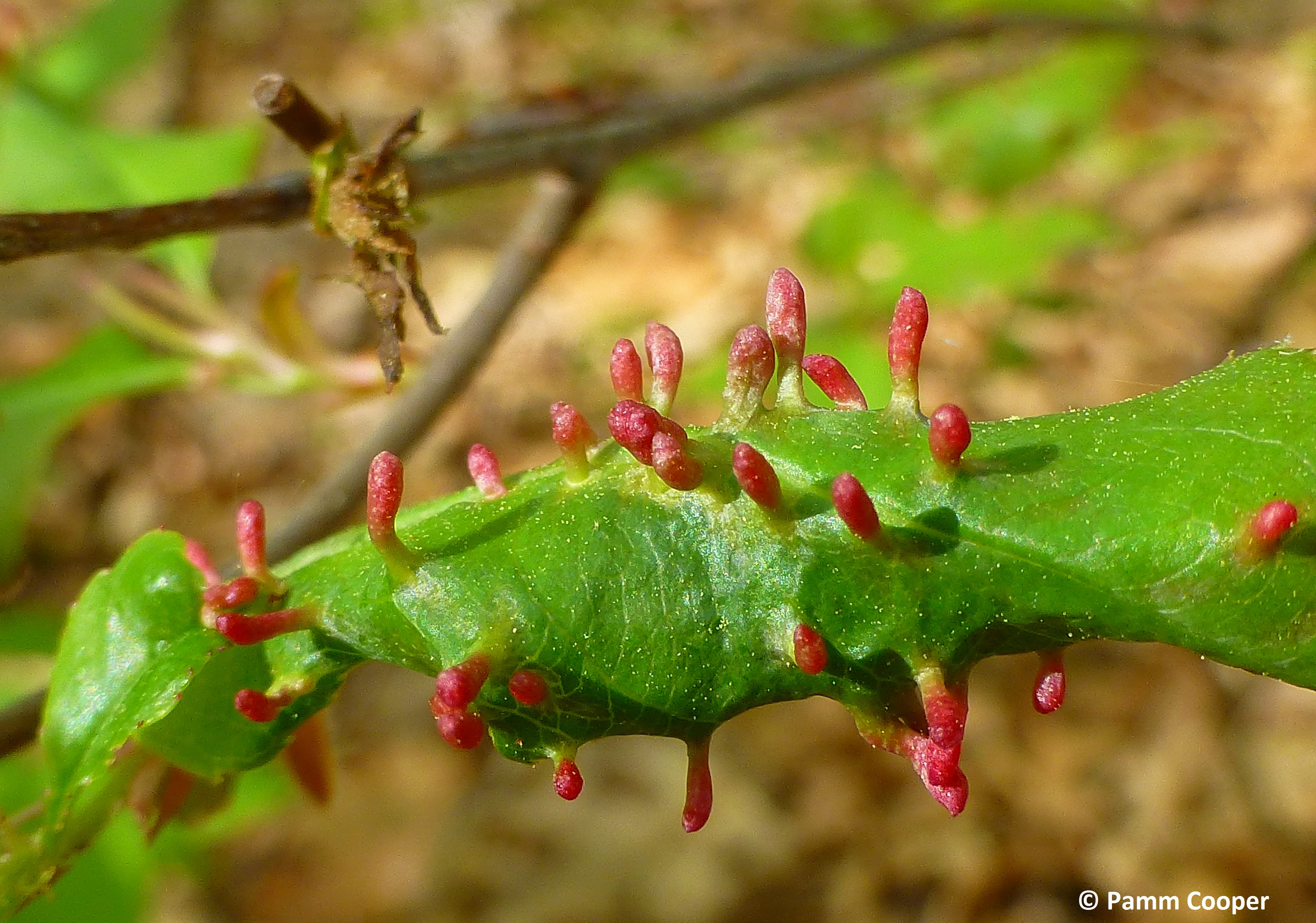 spindle galls on cherry