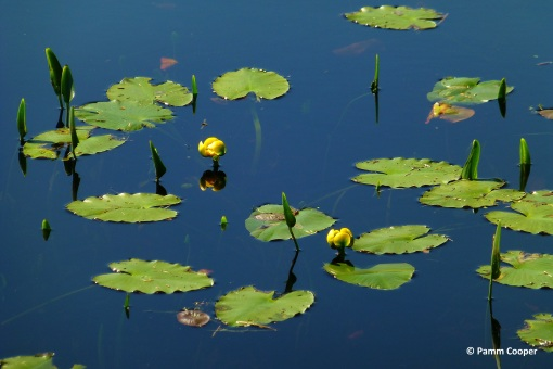 Yellow pond lilies Nuphar luteum Airline 5-14-16