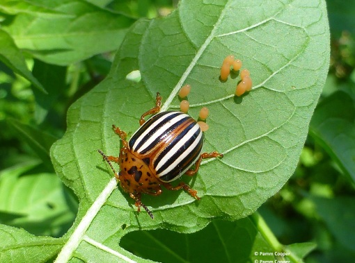 Colorado potato beetle June 2017pg