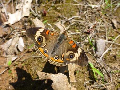 common buckeye June 21 2017 Coldbrook
