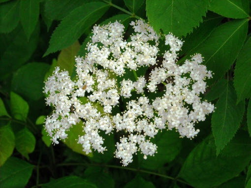 elderberry blossoms 2011