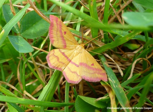 chickweed geometer moth Bug Week insect hunt Pamm Cooper photo