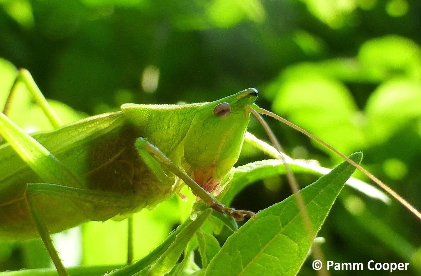 Conehead katydid neoconocephalus ssp.