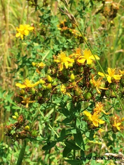 St. John's Wort, C.Quish photo