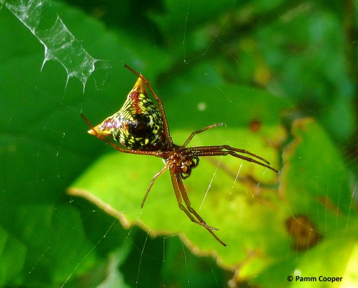 Arrow spider Micrathena sagittata PAmm Cooper photo
