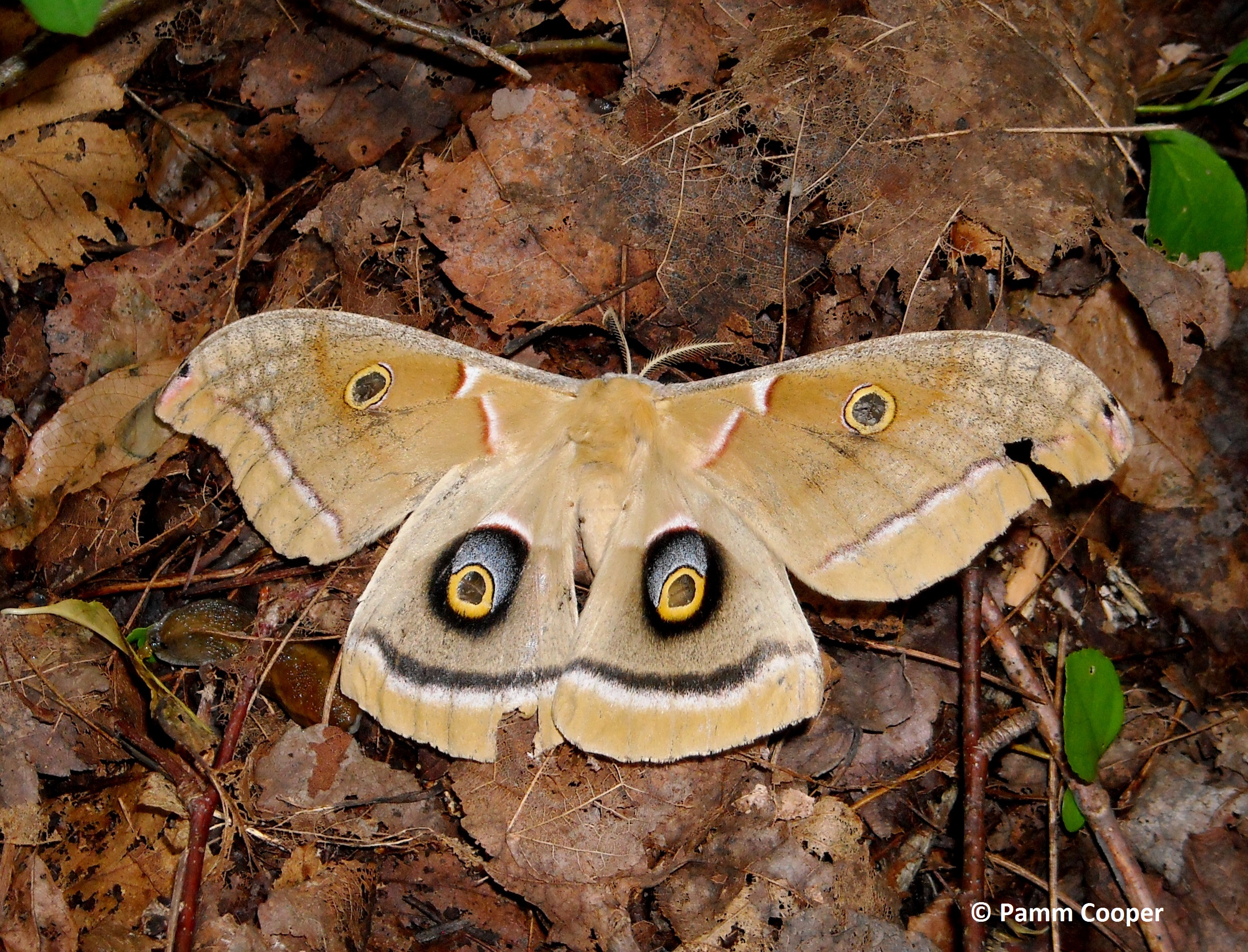 exhausted Polyphemus moth on leaf litter Pamm Cooper photo