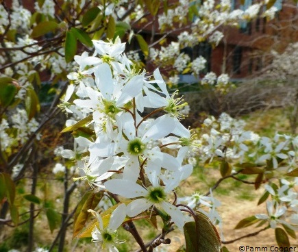 amelanchier-flowers-pamms-photo