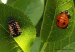 aphids 3