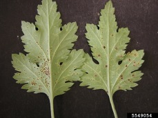 Chrysanth.brownrust.bugwood