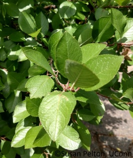 Amelanchier leaves