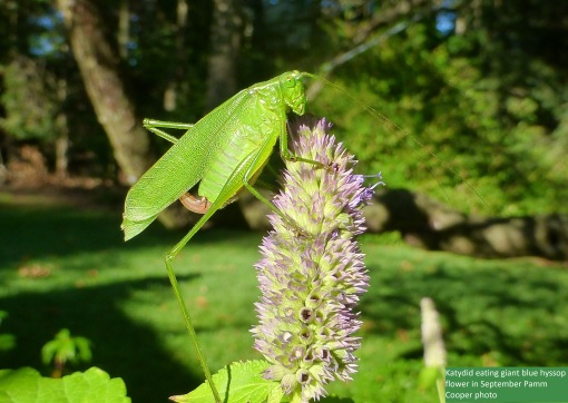 katydid eating hyssop flowers in September