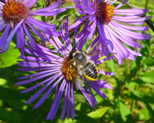 Megachilid leaf cutting bee on aster Belding September 2017